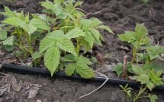 Что можно посадить на грядке после земляники или клубники, чтобы восстановить грунт