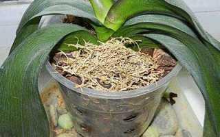 Как восстановить орхидею без листьев
